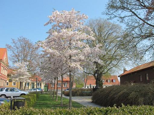 Körsbärsträd i Sölvesborg